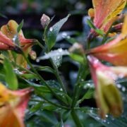 image of azalea as featured image for June 4, 2021 weather in Baguio city